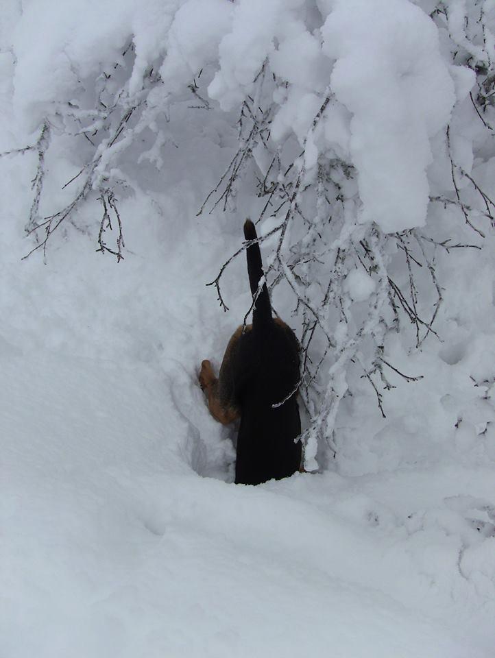 Simen hihund 2