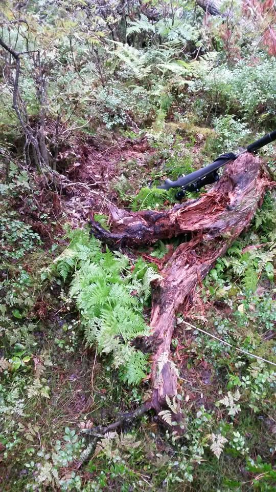 Vepsebol eller larver har bodd her. En stubbe som bjørnen har rivd opp og gnagd rein for det som var godt.