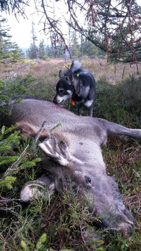 Figo med første elgen