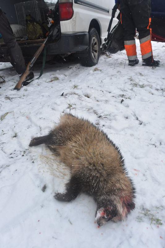Død mårhund