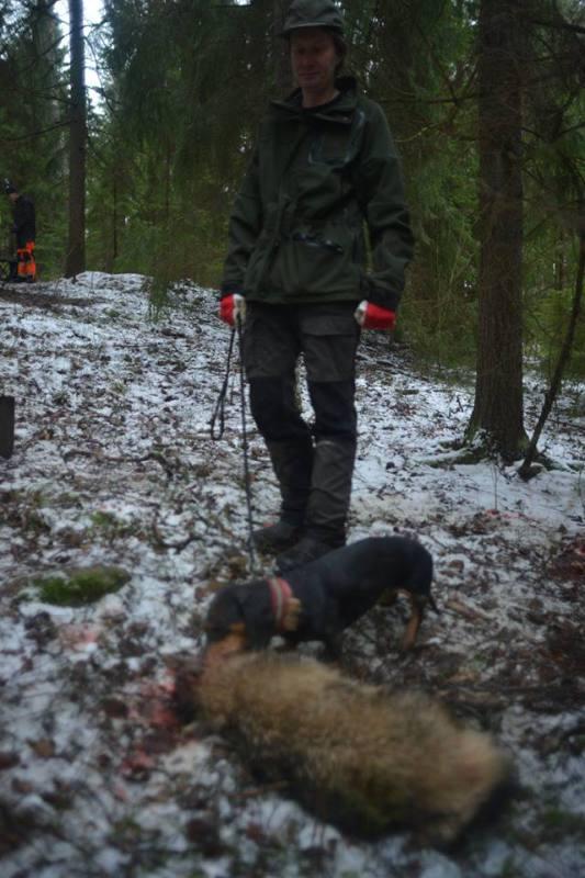 Dachs og mårhund Finland