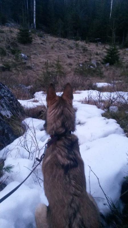 Lisa ser på elg